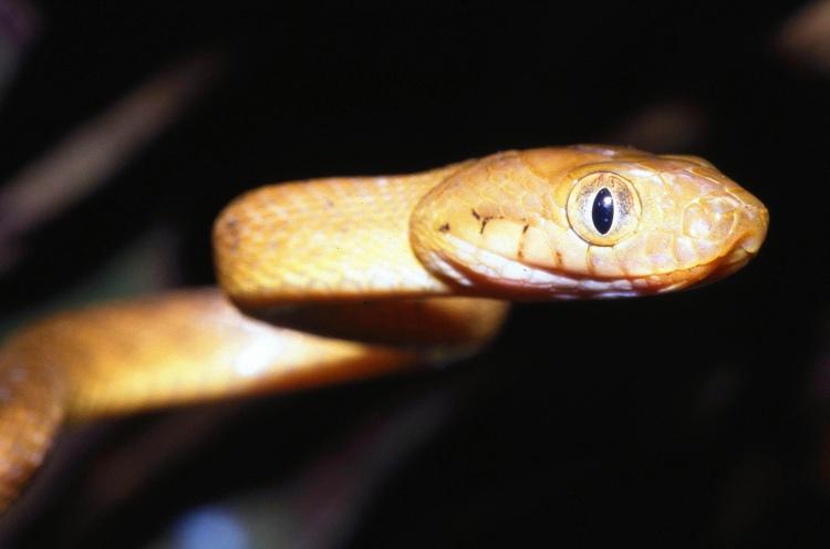 Brown tree snake. Credit: USDA