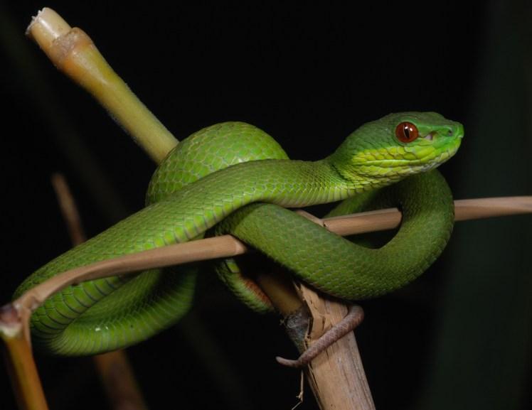 Trimeresurus insularis