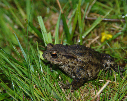 Adult common toad